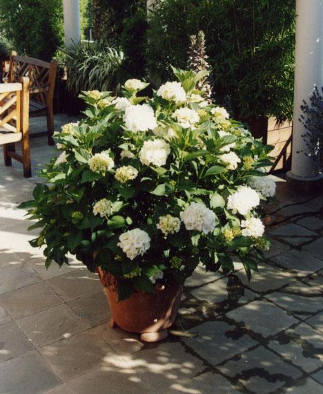 Ortensie Foglie Gialle : Un terrazzo di città come giardino gardendesign italia